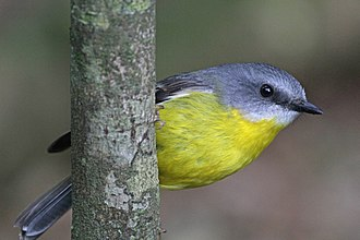 Eastern yellow robin - In Lamington National Park, Queensland, Australia