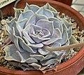 Echeveria lilacina 1.jpg