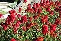Echinacea 'Hot Papaya' - Coastal Maine Botanical Gardens - DSC03323.jpg
