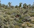 Echinocereus triglochidiatus 11.jpg