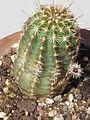 Echinocereus virdiflorus.JPG