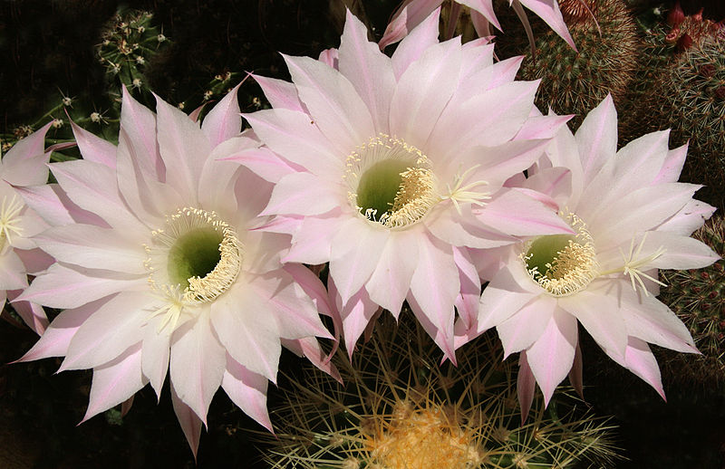 Разновидности цветущих кактусов с названиями 20 фото