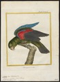 Eclectus polychlorus - 1700-1880 - Print - Iconographia Zoologica - Special Collections University of Amsterdam - UBA01 IZ18500255.tif