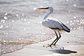 Egretta gularis -Egypt-8.jpg