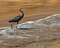 Egretta gularis -Oman -on a beach-8.jpg