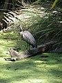 Egretta novaehollandiae -Queensland, Australia-6.jpg