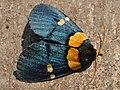 Egybolis vaillantina (Zambia).jpg
