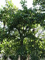 Ehretia acuminata4.jpg