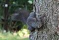 Eichhörnchen in unserem Garten 2H1A6860WI.jpg