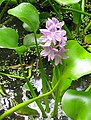 Eichhornia crassipes-Cenote-flowering.jpg
