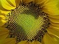 El acomodo logarítmico de las semillas del girasol. - panoramio.jpg