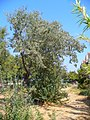 Elaeagnus angustifolia 001.JPG