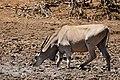 Eland (Taurotragus oryx) drinking ... (32241125044).jpg