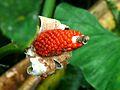 Elephant-ear Plant (Alocasia sarawakensis) (8410742057).jpg