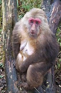 Tibetan macaque Species of Old World monkey