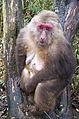 Emei shan.jinding.Old Tibetan macaque.jpg