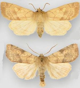 Enargia decolor female (top) male (bottom).JPG