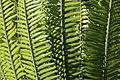 Encephalartos manikensis-IMG 8800.JPG