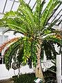Encephalartos woodii (Londra).JPG