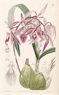 <i>Encyclia adenocaula</i> species of plant