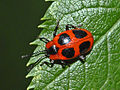 Endomychidae - Endomychus coccineus.JPG