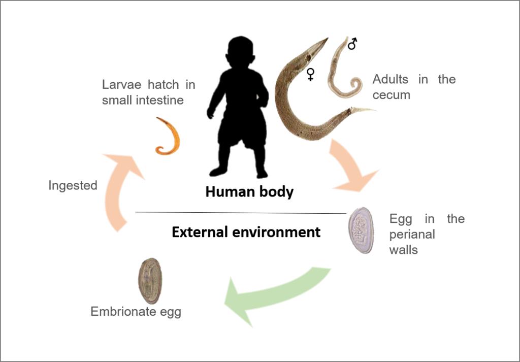 oxyuris vermicularis ciclo