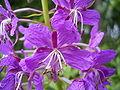 EpilobiumAngustifolium-closeup-kl.jpg