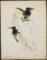 Epimachus albus - 1820-1860 - Print - Iconographia Zoologica - Special Collections University of Amsterdam - UBA01 IZ16100077.tif