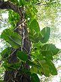 Epipremnum aureum (pothos).jpg