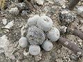 Epithelantha micromeris (5676475619).jpg