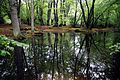 Epping Forest High Beach Essex England - spring pond 03.jpg