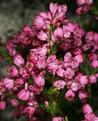 Erica corifolia 1DS-II 3-6997.png