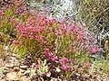 Erica multumbellifera plant1.JPG