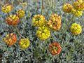 Eriogonum douglasii var. meridionale - Flickr - pellaea.jpg