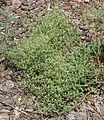 Eriogonum maculatum.jpg
