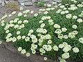 Eriogonum umbellatum1.jpg