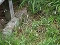 Eriophorum gracile sagisg01.jpg