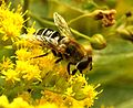 Eristalis arbustorum (L.) female (7825613734).jpg