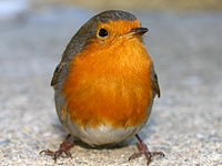 Erithacus rubecula - Languedoc-Roussillon, France-8.jpg
