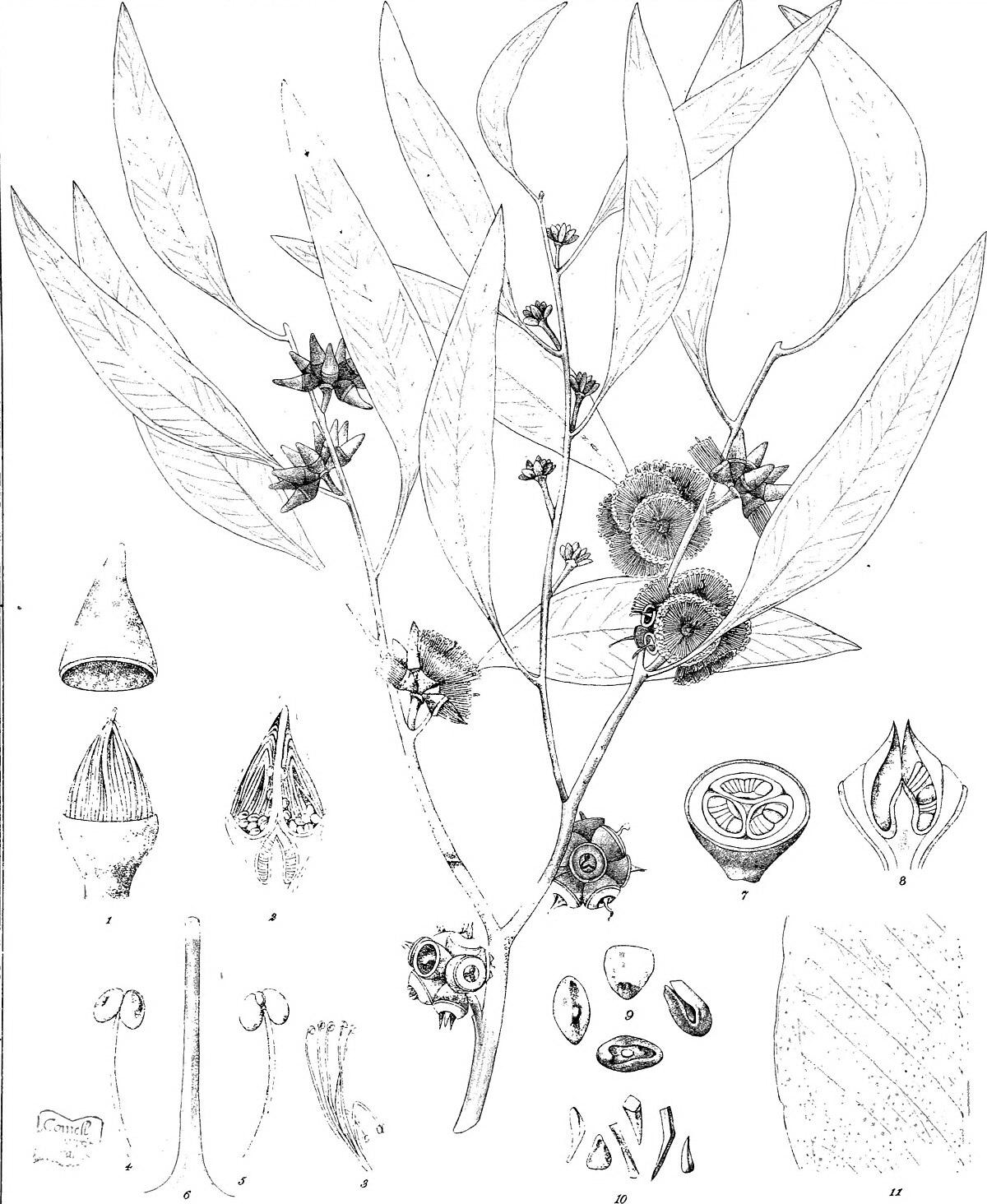 Line Art Wikipedia : Eucalyptus decipiens wikipedia