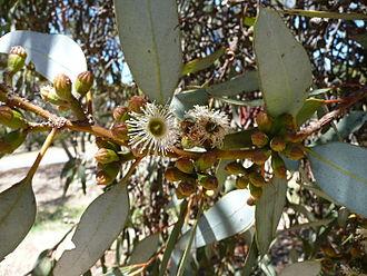 Eucalyptus dumosa - Eucalyptus dumosa foliage and flowers