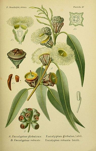 File:Eucalyptus ghj.jpg