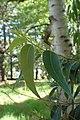Eucalyptus microcorys kz01.jpg