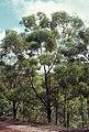 Eucalyptus phoenicea.jpg