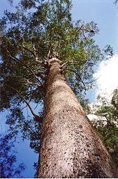 Eucalyptus Pilularis Wikipedia