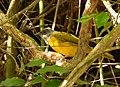 Eucometis penicillata (Güicha hormiguera) (14597289044).jpg