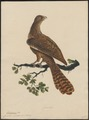 Eudynamys orientalis - 1700-1880 - Print - Iconographia Zoologica - Special Collections University of Amsterdam - UBA01 IZ18800285.tif