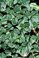 Euonymus fortunei 0016111.jpg