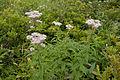 Eupatorium chinense var. sachalinense 03.jpg