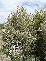 Euphorbia - Oasis Park botanical garden - Fuerteventura - 01.jpg